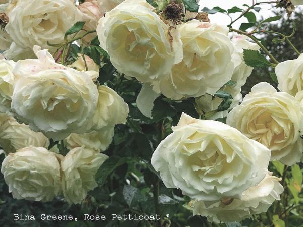 Rose Wednesday 01
