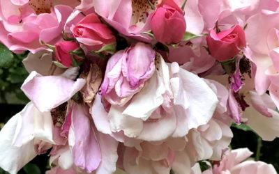 Rose Wednesday 02