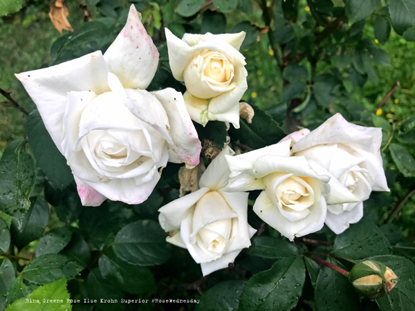 Rose Wednesday 03