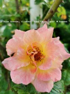 Rose Wednesday 04